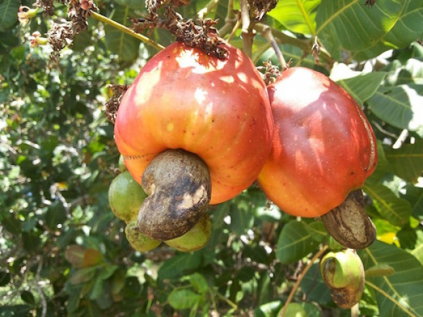 Imported Raw Cashew Material