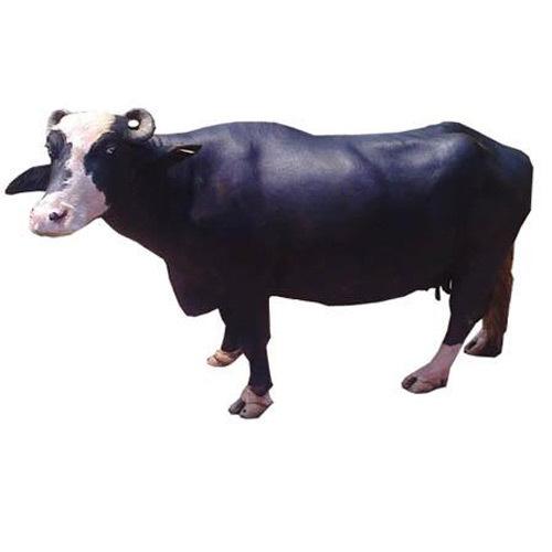 Nili Ravi Buffalo