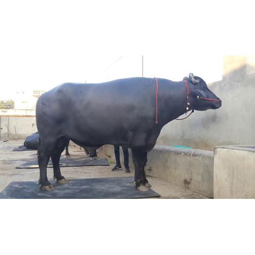 Desi Murrah Bull