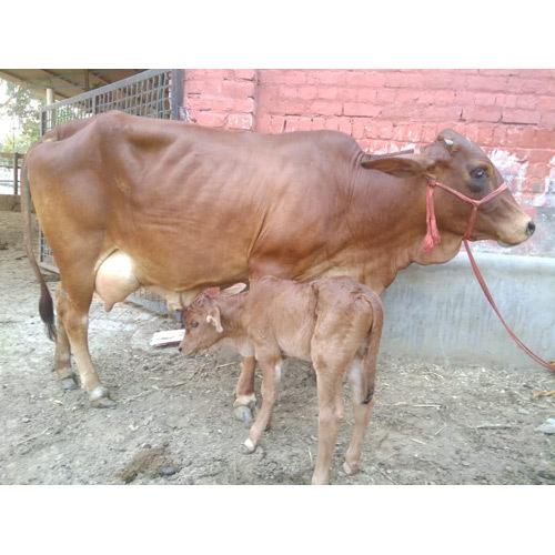 Pure Sahiwal Breed Cow