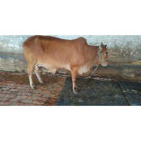 High Yield Sahiwal Cow