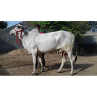 Pure Tharparkar Breed Cow