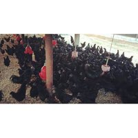 Kadaknath Chicken Breed