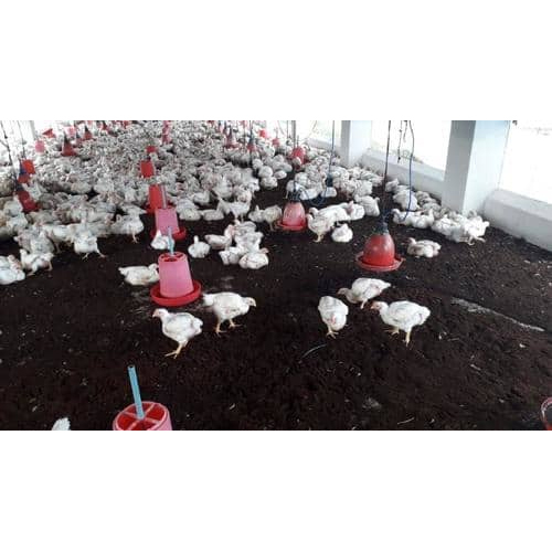 Broiler Chicken Breed