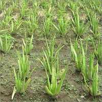 Commercial Farming of Aloe vera