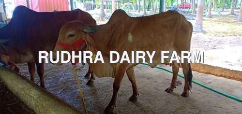 Gir Cow For Sale in Karur