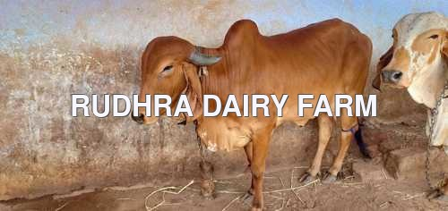 Gir Cow For Sale In Erode