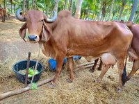 i want to buy gir cow