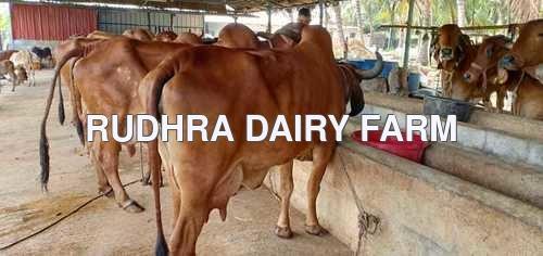 Gir Cow Price In Tamil Nadu