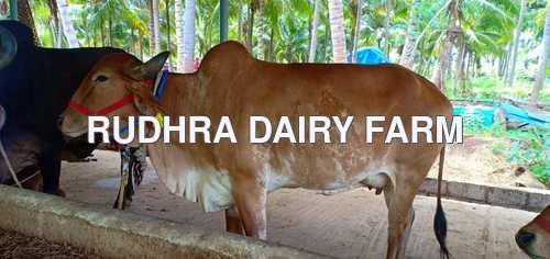 Gir Cow Price In Erode