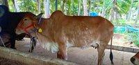 Gir Cow Price In Kangayam