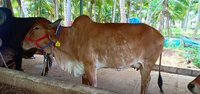 Gir Cow Price In Kangayam