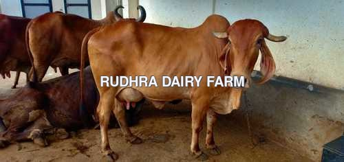 Gir Cow For Sale In Tirupur