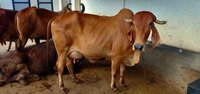 Gir Cow For Sale In Virudhunagar