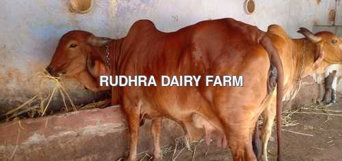 Gir Cow For Sale In Dindigul