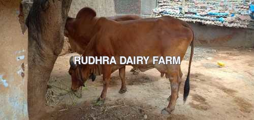 Gir Cow For Sale in Karunkalpalayam