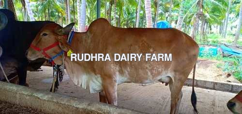 Gir Cow For Sale in Theni