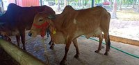 Gir Cow For Sale In KaniyaKumari