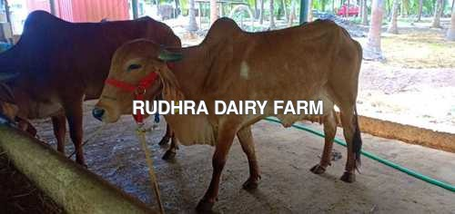 Gir Cow For Sale In Kanchipuram