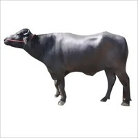 LIvestock Murrah Bull