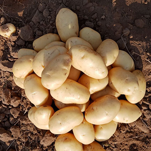Organic Potatoes - Organic Potatoes Manufacturers, Suppliers & Dealers