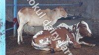 Sahiwal Hiffers Cow