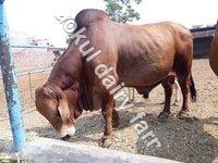 Sahiwal Bulls