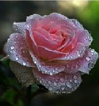 SWEET ROSE FLAVOR