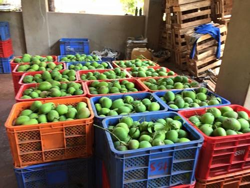 Fresh Green Mangos