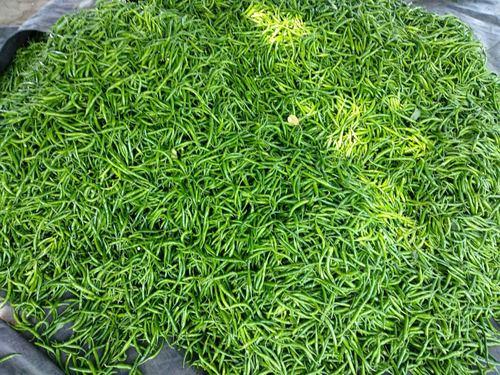 Pure Green chilli