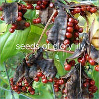 Seeds Of Glory Lily