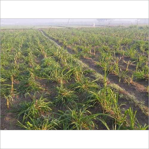Super Napier Grass 16% Crude protien