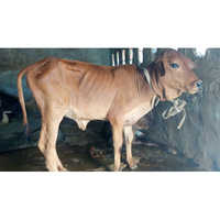 Heifer Breed Cow