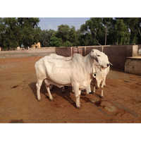 Karnal Dairy Cow