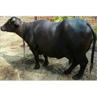 Black Murrah Buffalo in Karnal