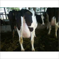 Holstein Friesian HF Cow
