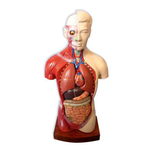 Human Body Torso Full Size With All Parts Removable