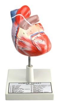 Big Size Human Heart