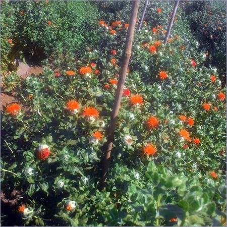 Natural Saffron Seeds