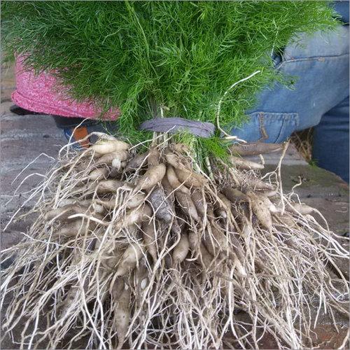 Shatavari Plant White