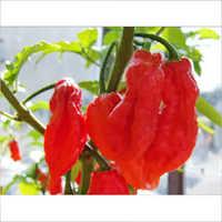 Organic Red Chillies