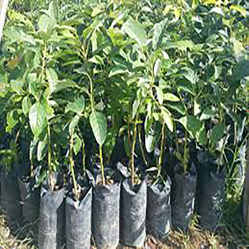 Avocado Fruit Plants Seedlings