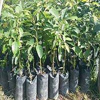 Avocado Fruit Plants Seedlings