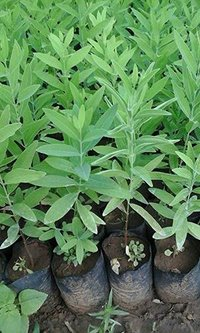 White Sandalwood Tree Plants Seedlings