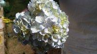 Hydrengea Flower