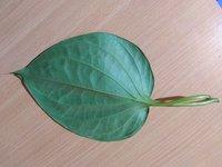 Khar Betel Leaves