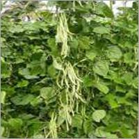 Beans Anjlina(Pole Beans)