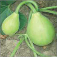 Bottle Gourd Selection-5