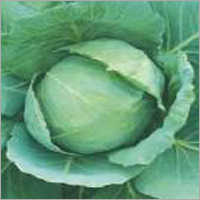 Cabbage Early Golden Acr (Imp)