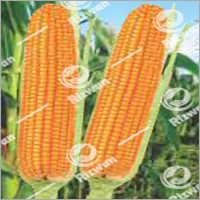 Maize Hybrid Gold 840